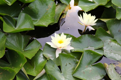 Water Lilies at Botanisk Have